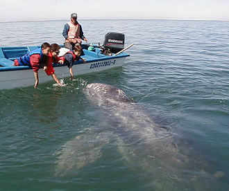 Whale watching - Whale watching in El Vizcaíno, with people trying to enter in contact with the animal. This practice is not recommended by most whale watchers