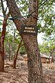 Bénin-Burkea africana (1).jpg