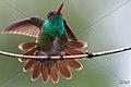 BLUE CHINNED SAPHIRE HUMMING BIRD SURINAM AMAZONE SOUTH-AMERICA (32173179034).jpg