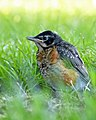 Baby Robin in the Grass by Monique Haen.jpg