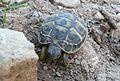 Baby Tortoise in Menorca (14190751491).jpg