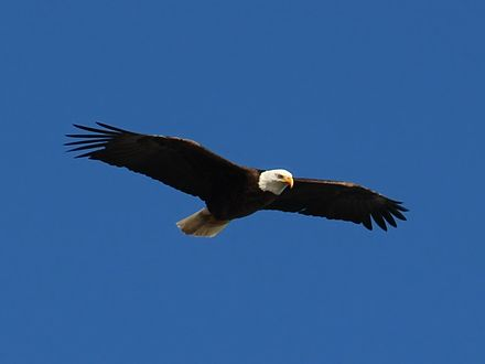 Bald eagle in flight at Yellowstone National Park, Wyoming Bald-Eagle-9114-cropped.jpg