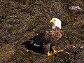 Bald Eagle (33043973845).jpg