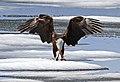 Bald eagle feeding on a lake trout on Lewis Lake (14352043962).jpg