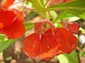 Balsam flowers 3.JPG