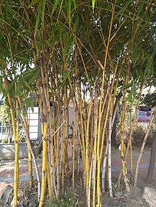 Bamboo tree of Coimbatore.jpg