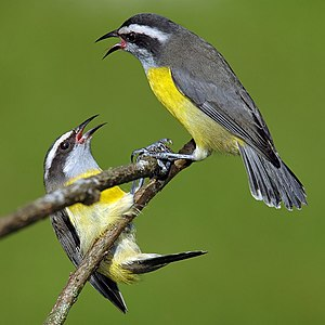 Two bananaquits on a branch
