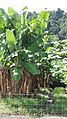 Bananas growing, Woopen Creek Road, Woopen Creek, 2108.jpg
