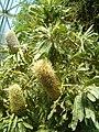 Banksia serrata BotGardBln07122011A.JPG
