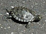 Barbour's Map Turtle kame.jpg