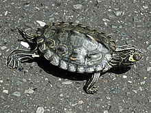 Barbour's Map Turtle kame.jpg