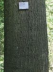 Bark Quercus palustris.jpg