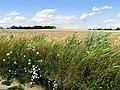Barley Field near Hampstead Norreys - geograph.org.uk - 33261.jpg