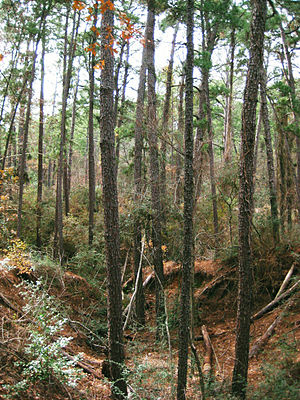 Bastrop State Park - Loblolly pine forest at Bastrop State Park.