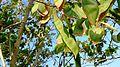 Bauhinia blakeana pods 1.jpg