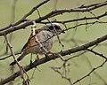 Bay-backed Shrike (Lanius vittatus) in Kolkata W IMG 4546.jpg