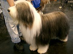 Bearded Collie2.jpg
