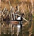 Beaver pond, Stanley park (2289566082).jpg