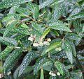 Begonia albopicta 01.jpg