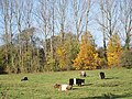 Belted Galloway Cattle, Bishopstone - geograph.org.uk - 605514.jpg