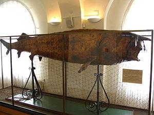 Beluga (sturgeon) - A 1000-kg, 4.17-m-long beluga fish from the Volga river (National Museum of Tatarstan, Kazan, Russia)
