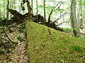 Bemooster Stamm, entwurzelter Baum.jpg