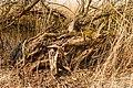 Bemoste, geteisterde boomstronken aan voetpad naar vogelkijkhut De Schollevaar. Locatie, Oostvaardersplassen 03.jpg