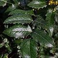 Berberis aquifolium-Mahonia faux houx-Feuilles-20210308.jpg