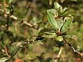 Berberis vulgaris PID1495-2.jpg