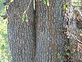Berchemia discolor-Kruger-NP bark.jpg