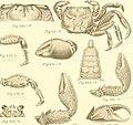 Bericht über die von Herrn Schiffscapitän Storm zu Atjeh, an den westlichen Küsten von Malakka, Borneo und Celebes sowie in der Java-See gesammelten Decapoden und Stomatopoden (1895) (14777722241).jpg
