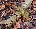 Berkenzwam (Piptoporus betulinus) (d.j.b.) 16.jpg