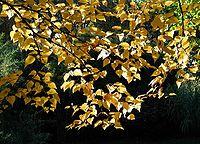 Betula-ermanii