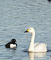 Bewick on Water (12585892864).jpg