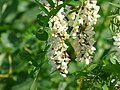 Białe akacje 03.jpg