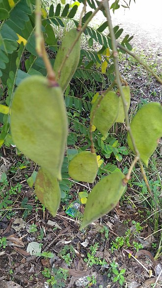 Biancaea sappan - Image: Biancaea sappan fruits