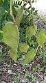 Biancaea sappan fruits.jpg