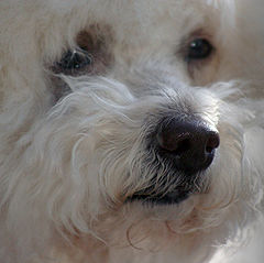 Bichon Popular Dog Wallpaper