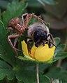 Biene und Spinne 6274.jpg