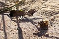 Bienenwolf Biene Höhle.jpg