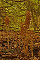 Bird's-nest Orchids (Neottia nidus-avis) - geograph.org.uk - 847187.jpg