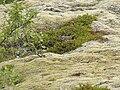 Bird in Skaftafell1.JPG