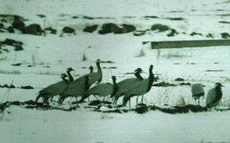 Sevan National Park - Cranes
