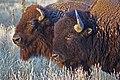 Bison Bison (15063661486).jpg