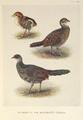 Black-backed Kaleege plumage by Henrik Grönvold.png