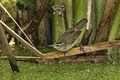 Black-browed Reed-Warbler - Thailand H8O4187 (17330625285).jpg