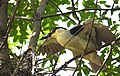 Black-crowned Night-Heron brings a twig for the nest - step three - almost there (48251665151).jpg