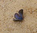 Black-eyed Blue. Glaucopsyche melanops. - Flickr - gailhampshire.jpg