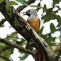 Black-faced Monarch (32312142826).jpg