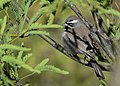 Black-throated Sparrow (33856632852).jpg